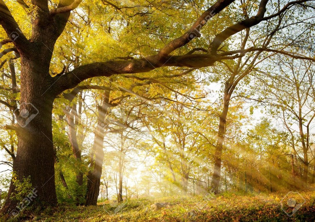 10958860-a-huge-old-oak-tree-in-autumn-park-lighted-sun-sunrise-Stock-Photo